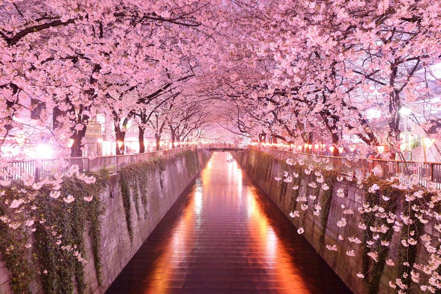 Tunnel-of-Cherry-Blossoms-Japan